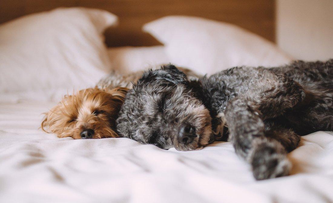 empecher chien dormir dans lit