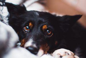 maladie probleme yeux chien