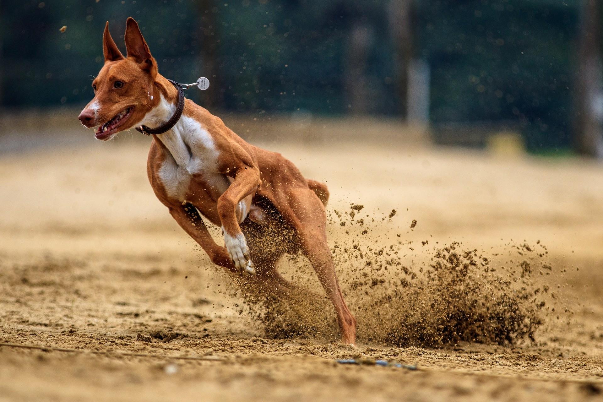 chiens rapides