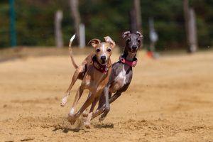 rapides chiens