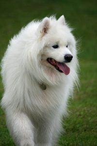 poil long chien